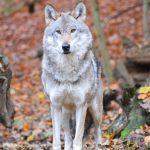 Wolf Zoo Schwerin